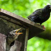 linnulauluhommik