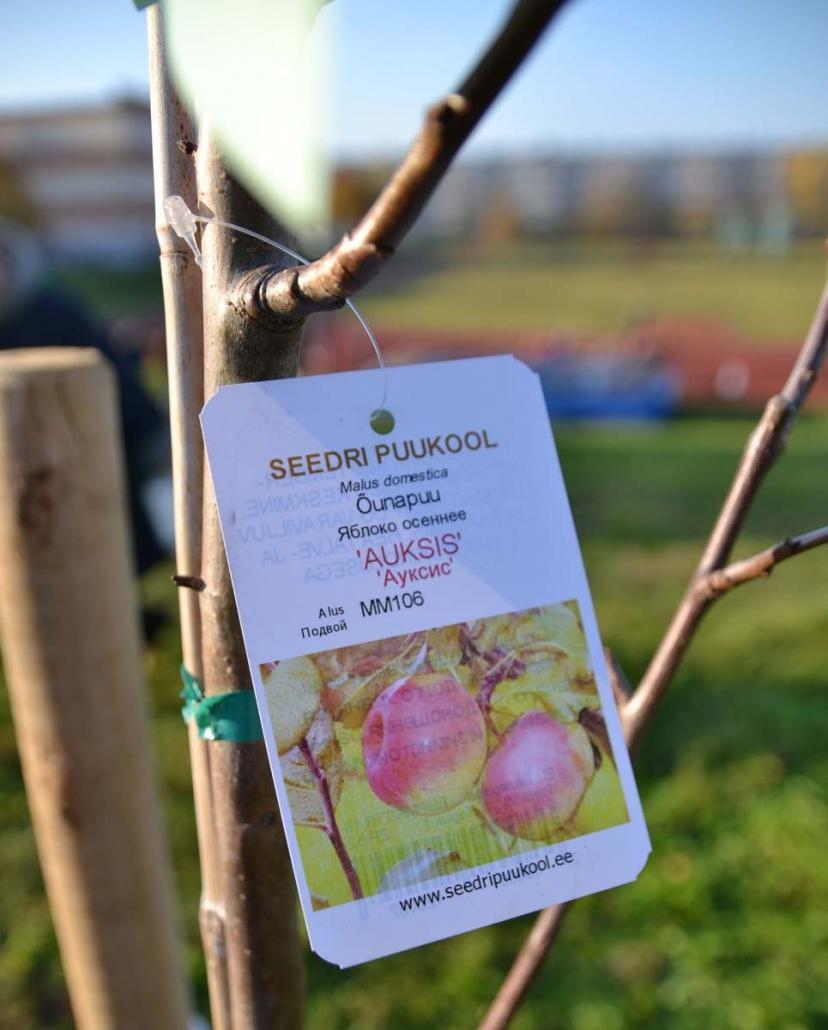 õunapuu istutamine