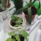 rohelised näpud